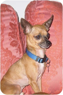 Chihuahua Dog for adoption in Amelia  Island/Clearwater/Jacksonville, Florida - carlos n Manny