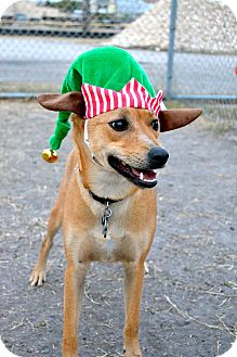 Chihuahua Mix Dog for adoption in Corpus Christi, Texas - Chico