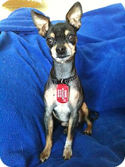 Chihuahua Mix Dog for adoption in Minnetonka, Minnesota - Bolt