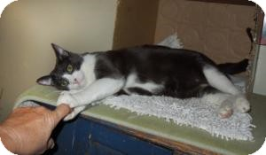 Domestic Shorthair Cat for adoption in Mission Viejo, California - Mister
