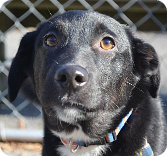 Labrador Retriever/Collie Mix Puppy for adoption in Morgantown, West Virginia - Knee Socks