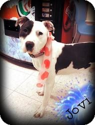 American Pit Bull Terrier Mix Dog for adoption in Toledo, Ohio - Jovi