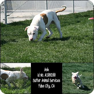 American Pit Bull Terrier Mix Dog for adoption in Yuba City, California - Ash