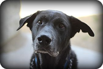 Labrador Retriever Mix Dog for adoption in Fort Worth, Texas - Freeman