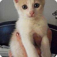 Adopt A Pet :: Butterscotch - Reston, VA