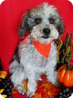 Poodle (Miniature)/Terrier (Unknown Type, Small) Mix Puppy for adoption in Irvine, California - Elvis