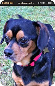 "Pug/Cavalier King Charles Spaniel Mix Dog for adoption in Seattle, Washington - ""Stanley"""