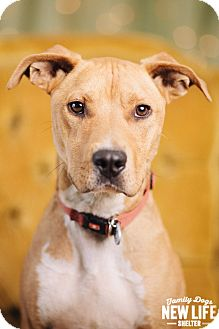 Pit Bull Terrier/Beagle Mix Dog for adoption in Portland, Oregon - Teddy Roosevelt