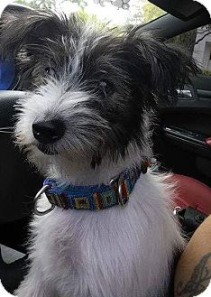 Havanese/Cairn Terrier Mix Puppy for adoption in Homestead, Florida - Tiffany