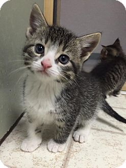 Domestic Shorthair Kitten for adoption in Bryan, Ohio - Brandine
