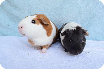 Guinea Pig for adoption in Montclair, California - Poppy