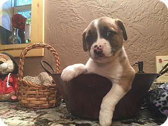 Boxer/Beagle Mix Puppy for adoption in Kaufman, Texas - Speith