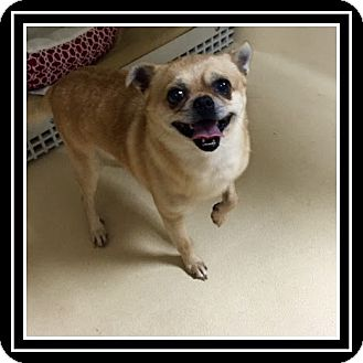 Chihuahua/Pug Mix Dog for adoption in Duart, Ontario - Bo