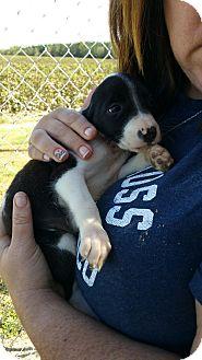Hound (Unknown Type)/Terrier (Unknown Type, Medium) Mix Puppy for adoption in Fredericksburg, Virginia - Pepper