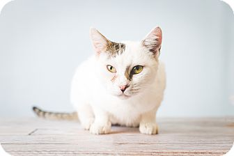 Domestic Shorthair Cat for adoption in Hendersonville, North Carolina - Smudge