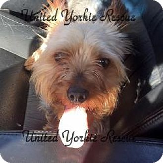 Yorkie, Yorkshire Terrier Dog for adoption in Skokie, Illinois - Wrigley