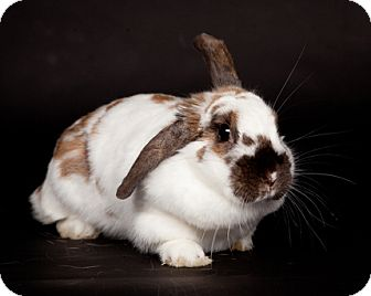 Lop, Holland for adoption in Kingston, Ontario - Daisy