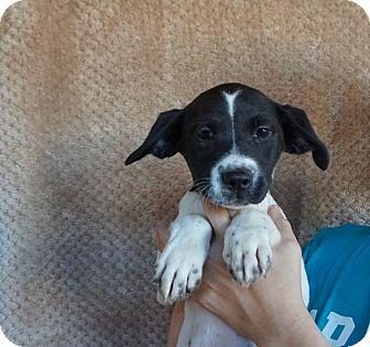 Border Collie/Labrador Retriever Mix Puppy for adoption in Oviedo, Florida - Haley