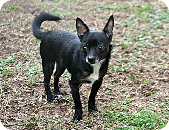 Chihuahua Mix Dog for adoption in Lufkin, Texas - Love Bug