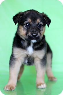 Shepherd (Unknown Type) Mix Puppy for adoption in Waldorf, Maryland - Balto