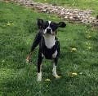 Chihuahua/Dachshund Mix Dog for adoption in Mechanicsburg, Ohio - Destiny