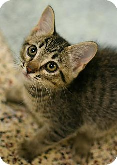 American Shorthair Kitten for adoption in Aiken, South Carolina - Sergio