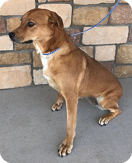 Labrador Retriever/Catahoula Leopard Dog Mix Dog for adoption in Artesia, New Mexico - Fiesty
