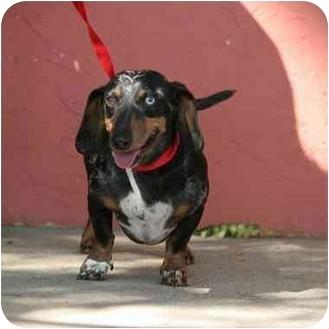 Dachshund Dog for adoption in Denver, Colorado - Omar