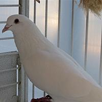 Pigeon for adoption in Elizabeth, Colorado - Louie