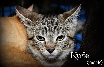 Domestic Shorthair Kitten for adoption in Springfield, Pennsylvania - Kyrie