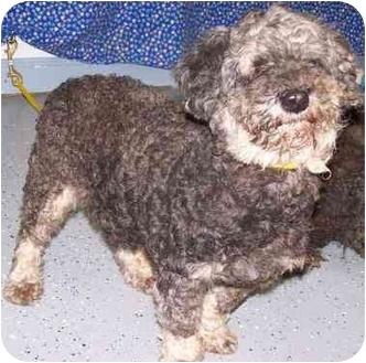 Poodle (Standard) Dog for adoption in New Carlisle, Indiana - Wilheminna