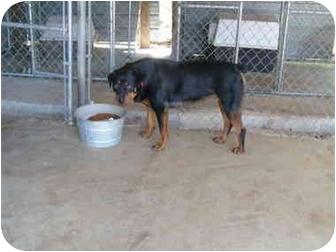Rottweiler Dog for adoption in Cairo, Georgia - Mercedes