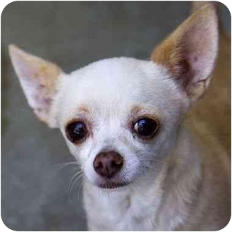 Chihuahua Dog for adoption in Berkeley, California - Betsy