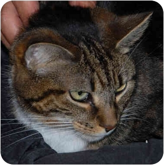 Domestic Shorthair Cat for adoption in Warminster, Pennsylvania - Laka