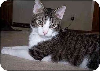 Domestic Shorthair/Domestic Shorthair Mix Cat for adoption in Sheboygan, Wisconsin - Jesse