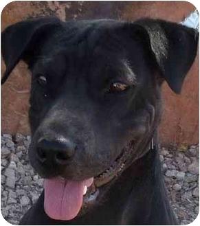 Shar Pei/Labrador Retriever Mix Dog for adoption in Las Vegas, Nevada - Bellesera