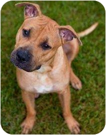 American Pit Bull Terrier Mix Dog for adoption in Springfield, Massachusetts - Starz- Watch My Video!
