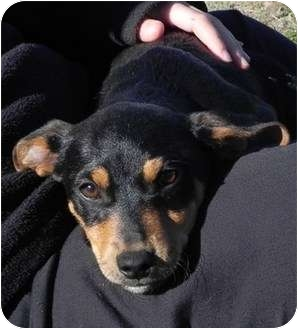 Miniature Pinscher Mix Puppy for adoption in Spring Valley, New York - Q-Bert