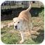 Photo 4 - Shar Pei/German Shepherd Dog Mix Puppy for adoption in Portland, Maine - Sugar Plum