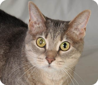Domestic Shorthair Cat for adoption in Chicago, Illinois - CopyCat