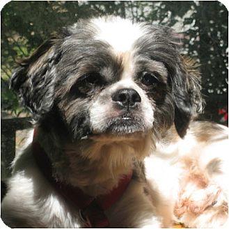 Shih Tzu Dog for adoption in Mays Landing, New Jersey - BoBo-NJ
