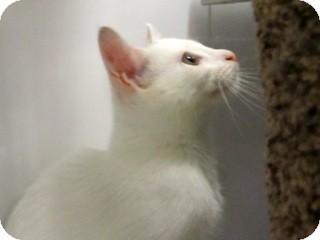 Domestic Shorthair Kitten for adoption in Warren, Michigan - Indigo