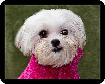 Maltese/Lhasa Apso Mix Dog for adoption in Fort Braff, California - Saturday