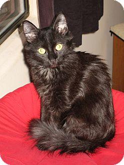 Domestic Shorthair Kitten for adoption in Fountain Hills, Arizona - HEATHER