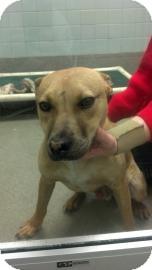 Labrador Retriever Mix Dog for adoption in Columbus, Georgia - Romero 4B47