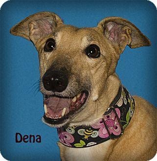 Greyhound Dog for adoption in Seattle, Washington - Dena