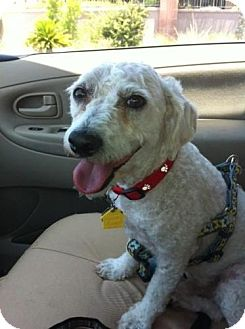 Bichon Frise/Dachshund Mix Dog for adoption in Las Vegas, Nevada - Haylo