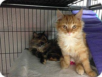 RagaMuffin Kitten for adoption in Cincinnati, Ohio - Natale and Noel: 9 weeks old