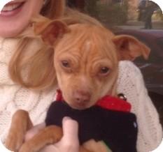 Italian Greyhound/Pug Mix Dog for adoption in San Marcos, California - Ginger