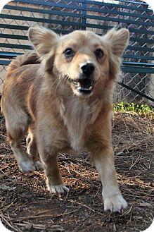 Pomeranian/Corgi Mix Dog for adoption in Grass Valley, California - Gizmo